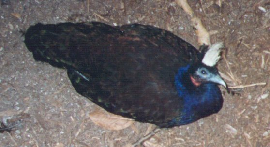 Congo Peacock; Image ONLY