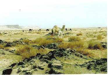 Dromedary camel003-by Dennis Desmond.jpg