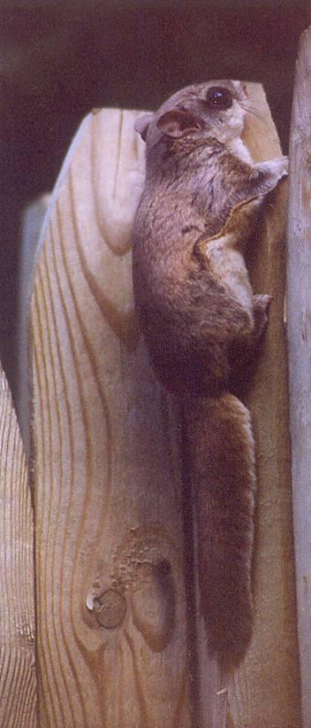 Flying Squirrel; Image ONLY
