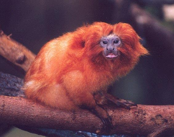 golden lion tamarin; Image ONLY