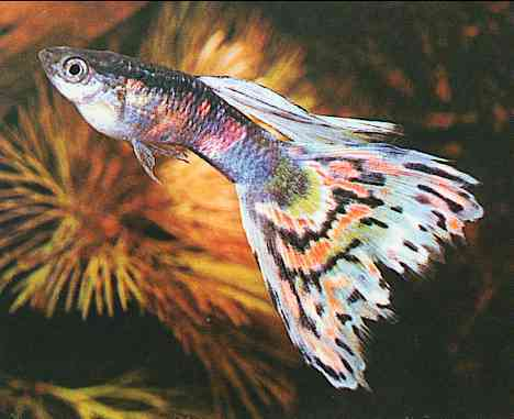 Guppy Fish; Image ONLY