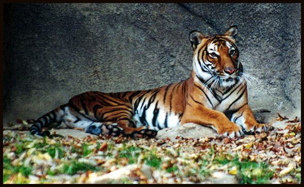 Indo-Chinese tiger 4; Image ONLY