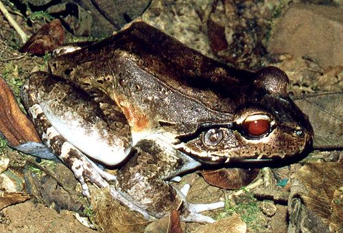 Jungle Frog; Image ONLY