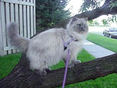 Pandora (himalayan) out for a walk; Image ONLY
