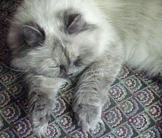 Sleepy Pandora (himalayan) ...; Image ONLY