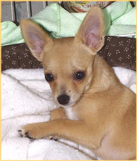 Sweet Chihuahua (1) (jpg) Waking Up!; Image ONLY