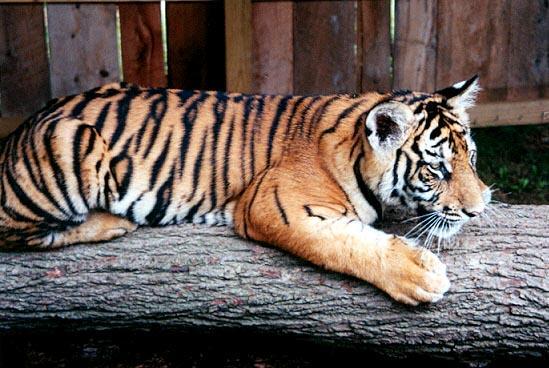 Tiger cub log-by Denise McQuillen.jpg