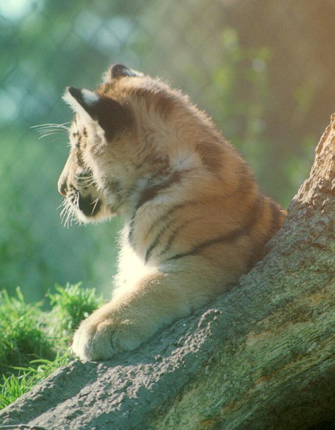 Tigercub015-Siberian Tiger-by Ralf Schmode.jpg