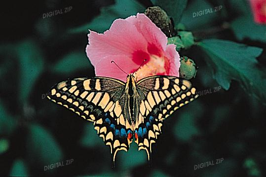 Old World Swallowtail Butterfly (Papilio machaon) <!--산호랑나비-->; Image ONLY