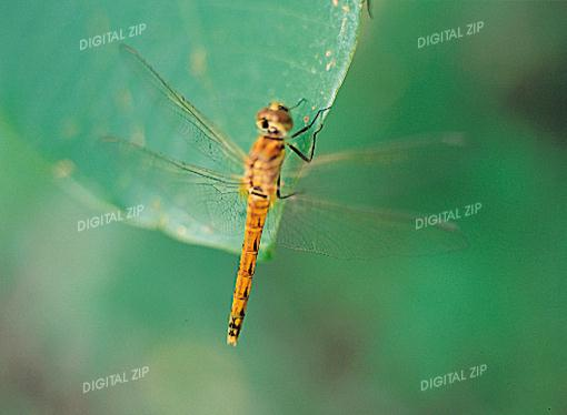 Tongro Photo-i26-Korean Insect-Dragonfly Brown; Image ONLY