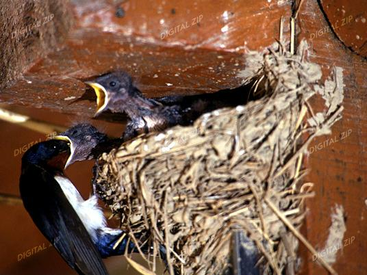 House Swallow nursing chicks; Image ONLY