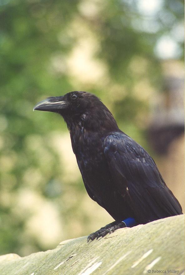 Tower of London Raven; Image ONLY