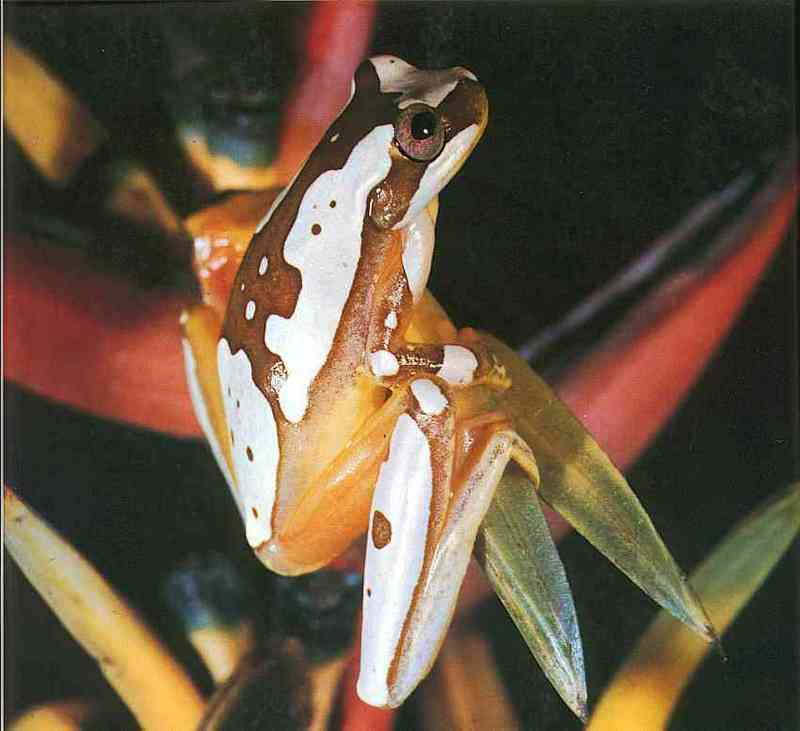 Tree-Frog; DISPLAY FULL IMAGE.