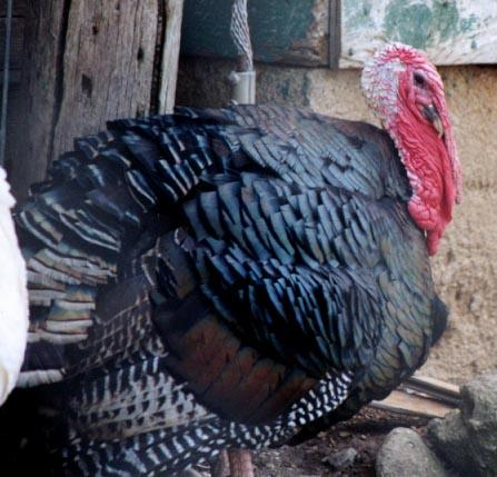 Domesticated turkey; Image ONLY