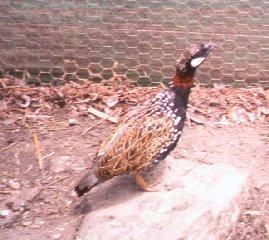 Game Bird: Black Francolin; Image ONLY