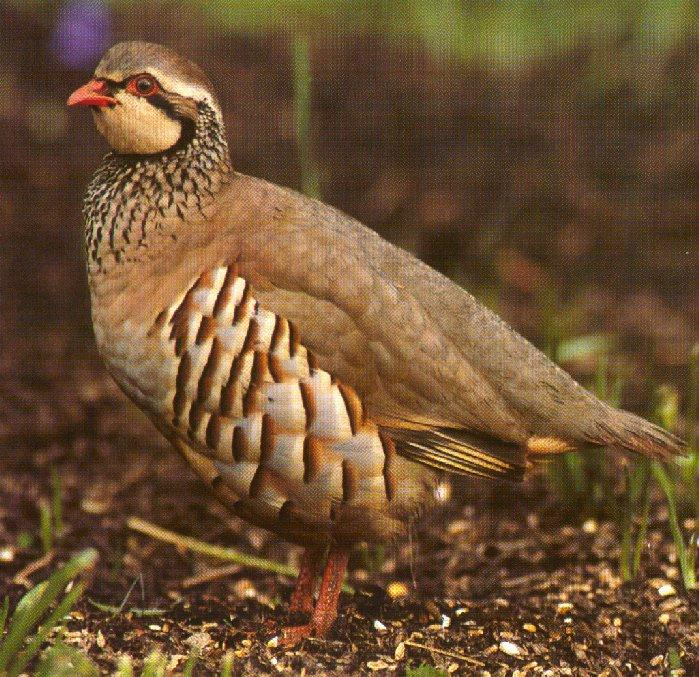 Red-legged Partridge; Image ONLY