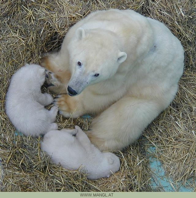 polar bears; Image ONLY