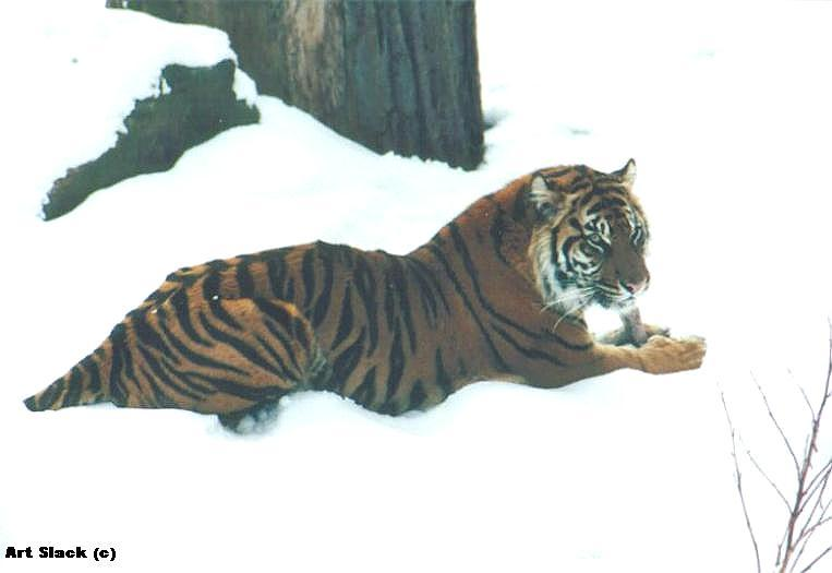 A00343 -- Siberian Tiger; Image ONLY