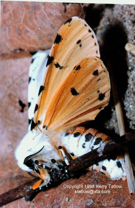 Arctiid-Tiger Moth-ktatlow@xta.com-by Kerry Tatlow.jpg