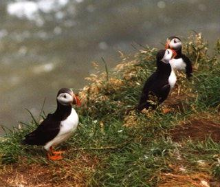Atlantic_puffin-05-by_Waco.jpg; Image ONLY