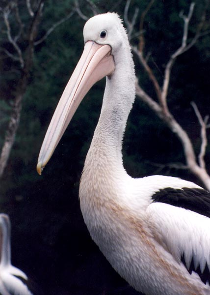 Australian Pelicans breed inland and return to the sea when the young are reared - Pelican09.jpg; Image ONLY