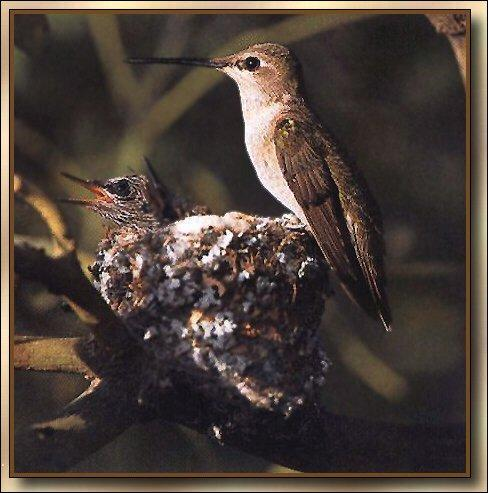 Hummingbird - Black-chinned; Image ONLY