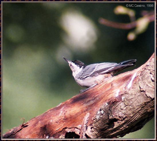 Birds Of September --> White-breasted Nuthatch; Image ONLY