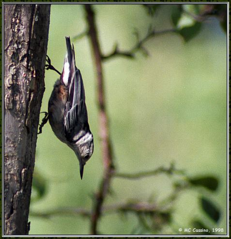 CassinoPhoto-AmericanBird09-Red-breasted Nuthatch-climbing down tree.jpg