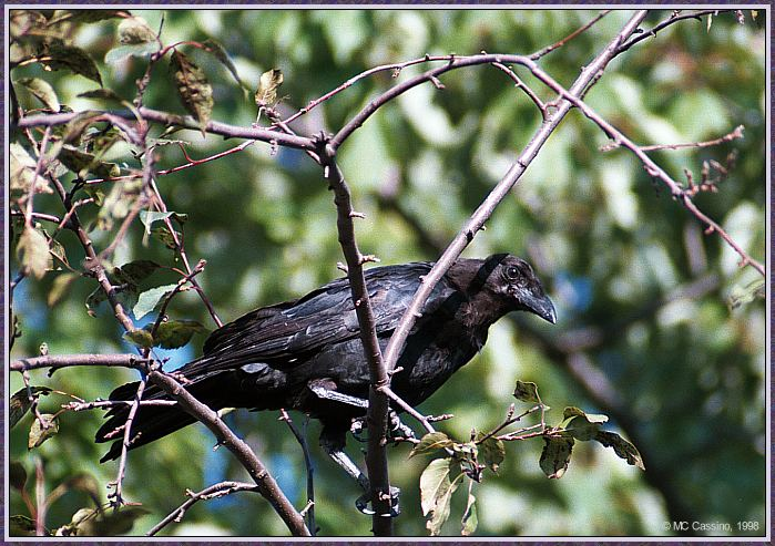 Birds Of September --> American Crow; Image ONLY