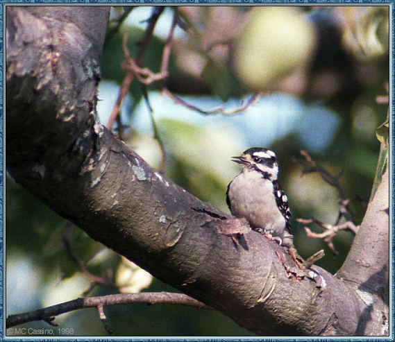 Birds Of September --> Downy Woodpecker; Image ONLY