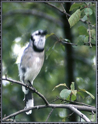 Birds Of September --> Blue Jay; Image ONLY