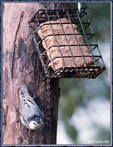 CassinoPhoto-AmericanBird19-White-breasted Nuthatch-down tree with bird feeder.jpg