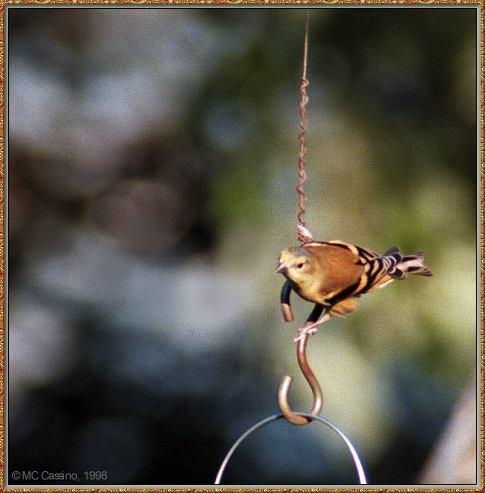 CassinoPhoto-AmericanBird23-American Goldfinch-perching on rope of feeder.jpg