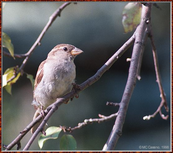 CassinoPhoto-AmericanBird25-House Sparrow-perching on branch-closeup.jpg