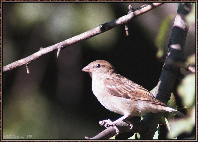 Birds Of September --> House Sparrow; Image ONLY