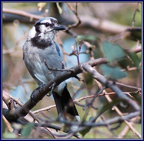 CassinoPhoto-AmericanBird28-Blue Jay-old one perching on branch.jpg