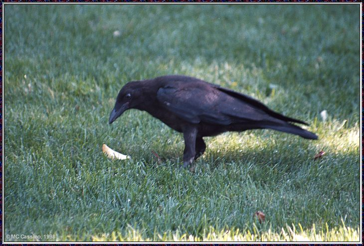 July Birds --> American Crow; Image ONLY
