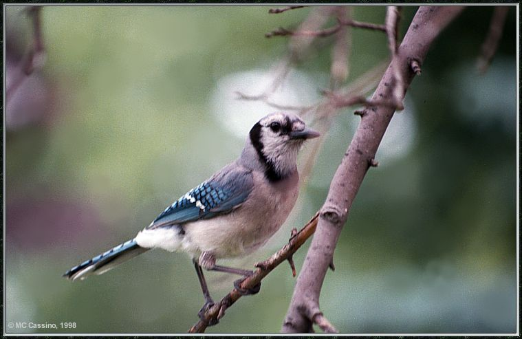 July Birds --> Blue Jay; Image ONLY