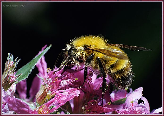 CassinoPhoto-JulyInsect01-Bee Fly-sipping nectar on flower.jpg