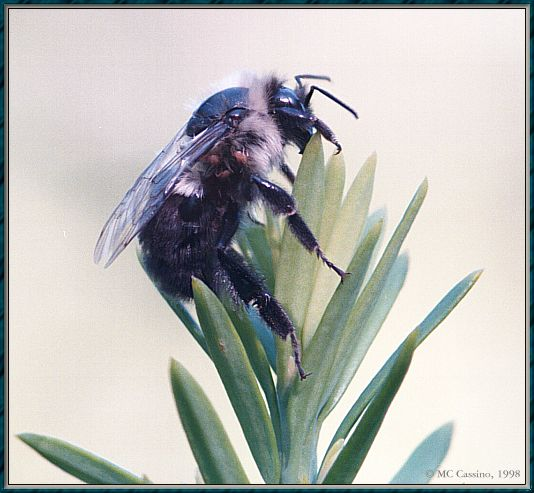 CassinoPhoto-JulyInsect02-Bumblebee-sitting on leaves.jpg
