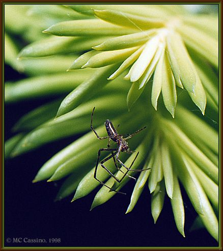 CassinoPhoto-JulyInsect03-Garden Spider-haning plant.jpg