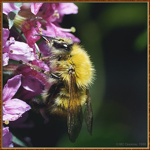 CassinoPhoto-JulyInsect04-Bee Fly-sipping nectar on flower.jpg