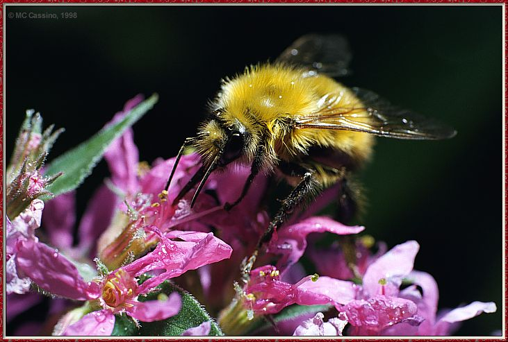 CassinoPhoto-JulyInsect06-Bee Fly-sipping nectar on flower.jpg