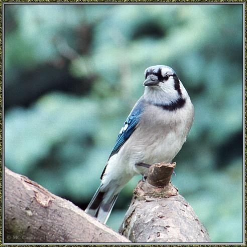 CassinoPhoto-JuneBird02-Blue Jay-perching on trunk.jpg
