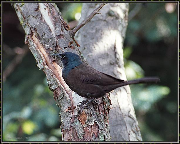 June Birds --> Common Grackle; Image ONLY
