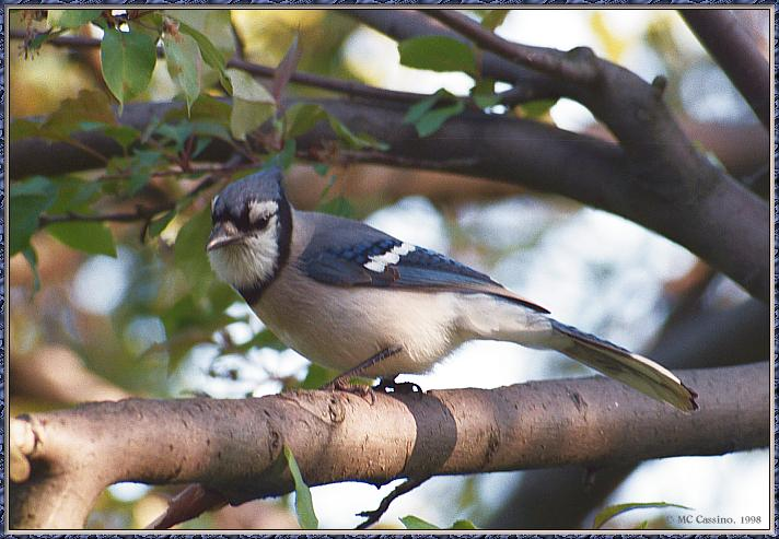 June Birds --> Blue Jay; Image ONLY