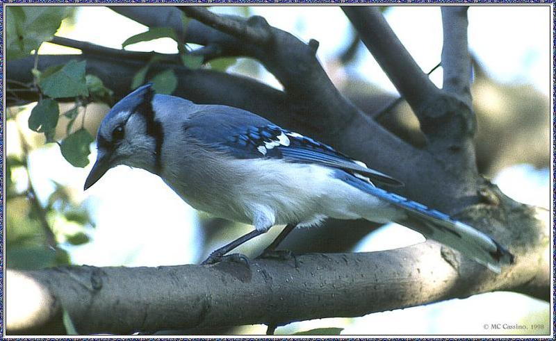 June Birds --> Blue Jay; DISPLAY FULL IMAGE.