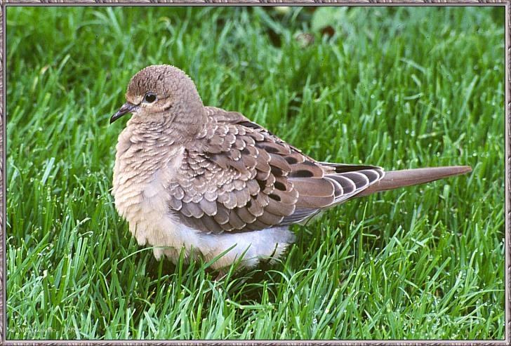 June Birds --> Mourning Dove; Image ONLY