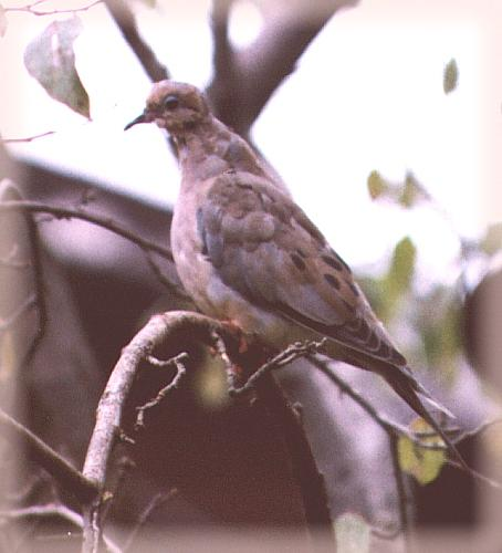 CassinoPhoto-mourning dove 01-portrait.jpg