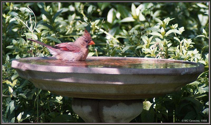 July Birds -- cardinals --> Northern Cardinal; DISPLAY FULL IMAGE.